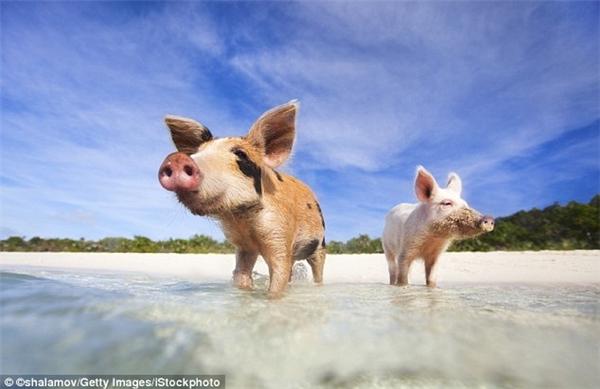 """Ở một hòn đảo nhỏ không người thuộc khu vực Exuma của Bahamas là """"vương quốc"""" của những chú heo.(Ảnh: Lonely Planet)"""