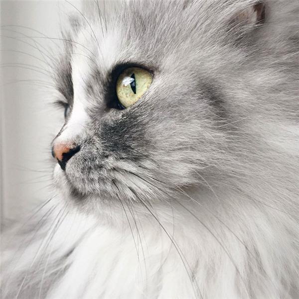 Bộ lông xám trắng mượt mà hấp dẫn những cái vuốt ve nhưng đôi mắt xinh đẹplại như thiêu đốtmọi ánh nhìn.