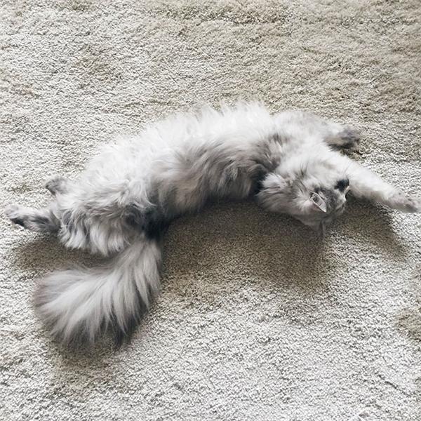 Ngỡ ngàng với vẻ ngoài xinh đẹp của nữ hoàng loài mèo