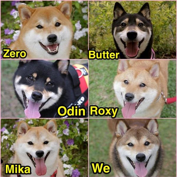 Đây là Zero, Butter, Odin, Roxy, Mika, và Wewe, 6 anh em nhà chó shiba sống cùng chủ tại Nhật Bản.
