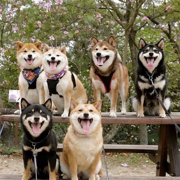 Chúng là những chú shiba vui vẻ nhất mạng xã hội vì lúc nào cũng ngoác miệng ra cười.