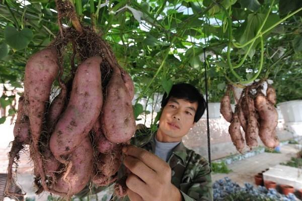 Chuyện lạ trồng khoai lang không cần đất khiến nhiều người tò mò.
