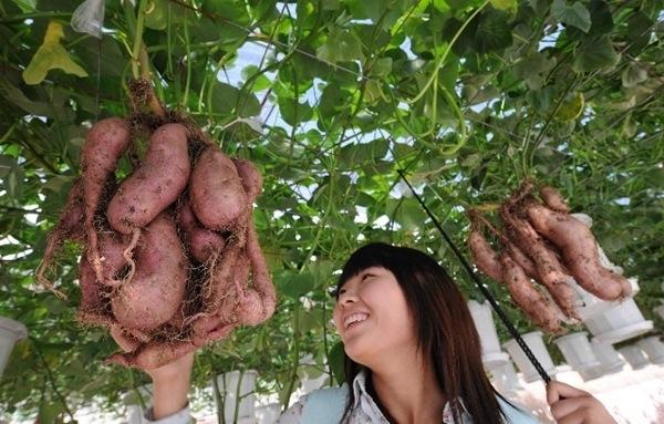Có được thành quả nàylà phương pháp trồng khoai thủy canh.