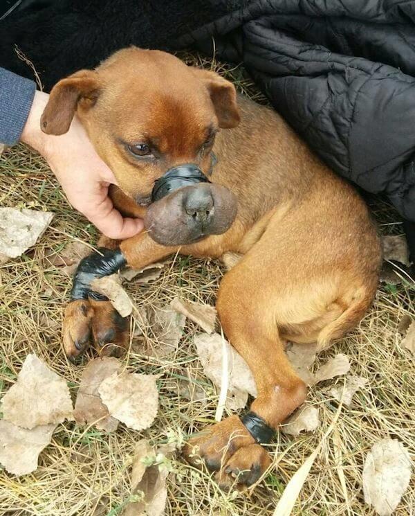 Chú chó nhỏ tội nghiệp bị dánchặt mõm và tứ chi bằng băng dính điện trong nhiều giờ liền.