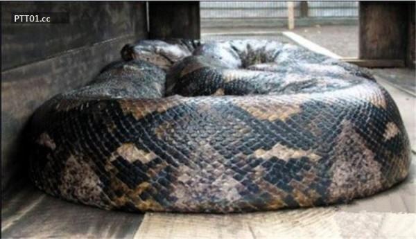 Con trăn mắt lưới này dài 15m và nặng 447kg.