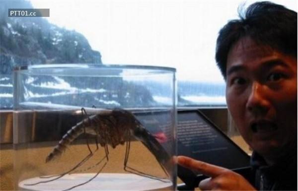 Con muỗi lớn nhất thế giới tính tới thời điểm được phát hiện tại Trung Quốc.