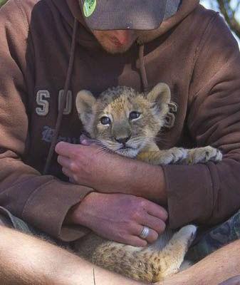 Khi được phát hiện, chú sư tử mới chỉ có 10 ngày tuổi và bị mất nước nghiêm trọng.