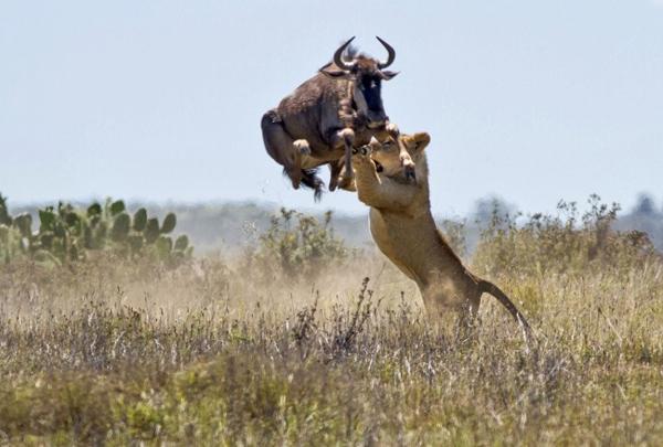 9. Cú bật nhảy cao gần 2m của một con linh dương đã cứu nó khỏi nanh vuốt của kẻ đi săn.