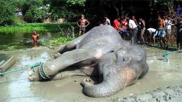 Đội cứu hộ và dân làng bắt đầu buộc dây vào mình voi.(Ảnh: BDNews24)