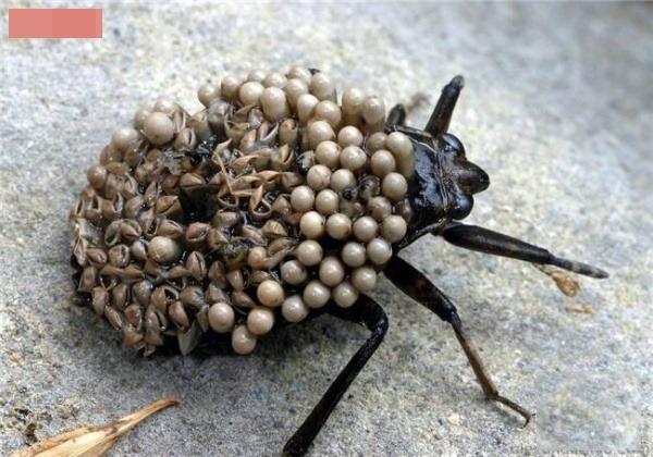 Con bọ mang đầy những ấu trùng và trứng trên lưng sẽ khiến bạn phát khóc nếu như nó bò lên người bạn.