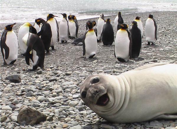 Mấy thằng cánh cụt này tạo dáng lâu quá, chụp trước cho anh một phát nhé. (Ảnh: Internet)