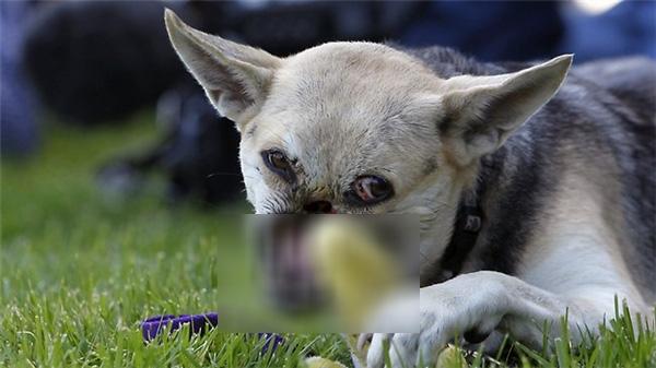 Xúc động chuyện cô chó hi sinh khuôn mặt để cứu 2 đứa bé thoát nạn