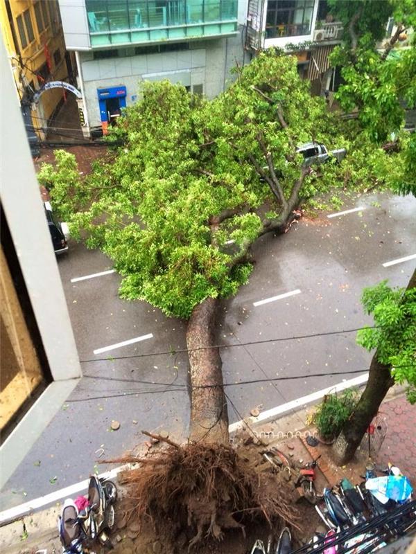 Hà Nội: cây đổ chắn ngang đường, chèn nát xe hơi vì mưa bão