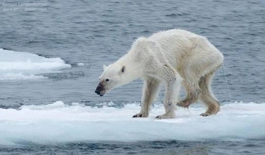 Chú gấu Bắc Cực gầy giơ xương.