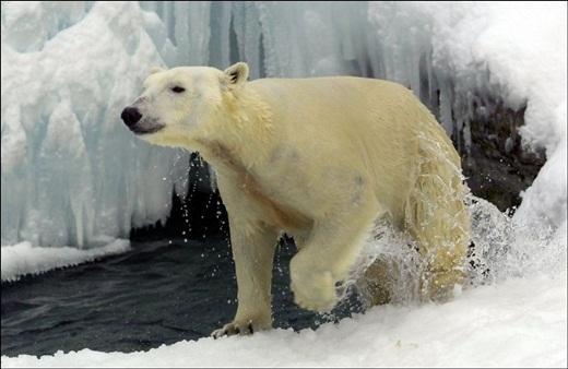 Bức ảnh chú gấu Bắc Cực gầy giơ xương khiển cả thế giới bàng hoàng
