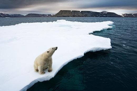 Môi trường sống của các chú gấu Bắc Cực đang bị đe dọa.