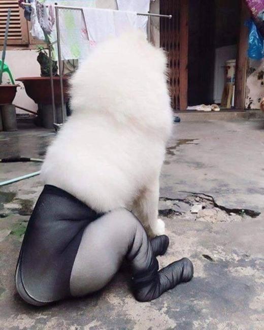 Cười ra nước mắt với loạt ảnh sexy nhất quả đất khi cún mặc quần tất