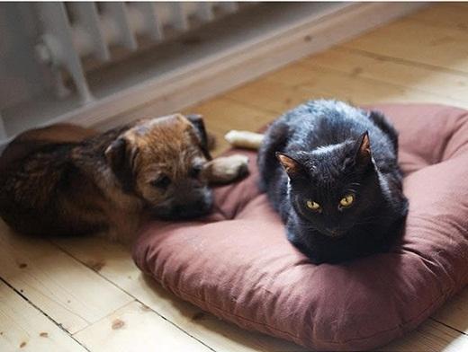 Khuôn mặt đáng thương của những chú chó khi bị mèo giành chỗ