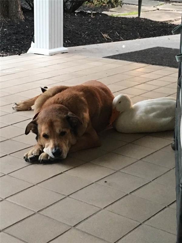 Chú vịt ở đâu xuất hiện không ai biết, đến bên George và nằm cạnh tựa như đã quen thân từ lâu lắm.(Ảnh: Facebook)