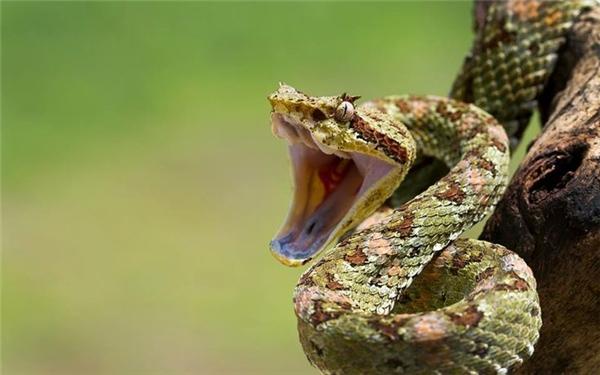 Không biết bao nhiêu loài vật đã chết với cái miệng rộng toác đầy nọc độc này rồi nhỉ.