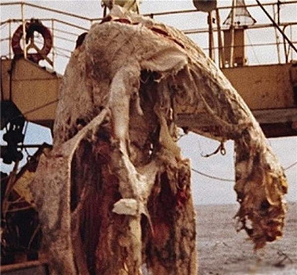 Ảnh chụp thủy quáiZuiyo-marumắc vào lưới
