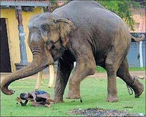 Chú voi này sau khi đứt xích thì đã chạy sang tấn công con người.