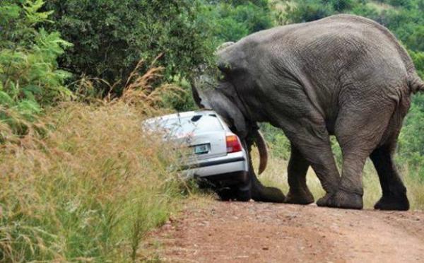 Trong khi một chú voi khác thì nhắm vào chiếc xe đã xâm lấn không gian cá nhân của nó.