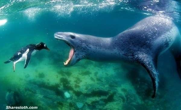 Một chú chim cánh cụt chuẩn bị làm mồi cho hải cẩu.