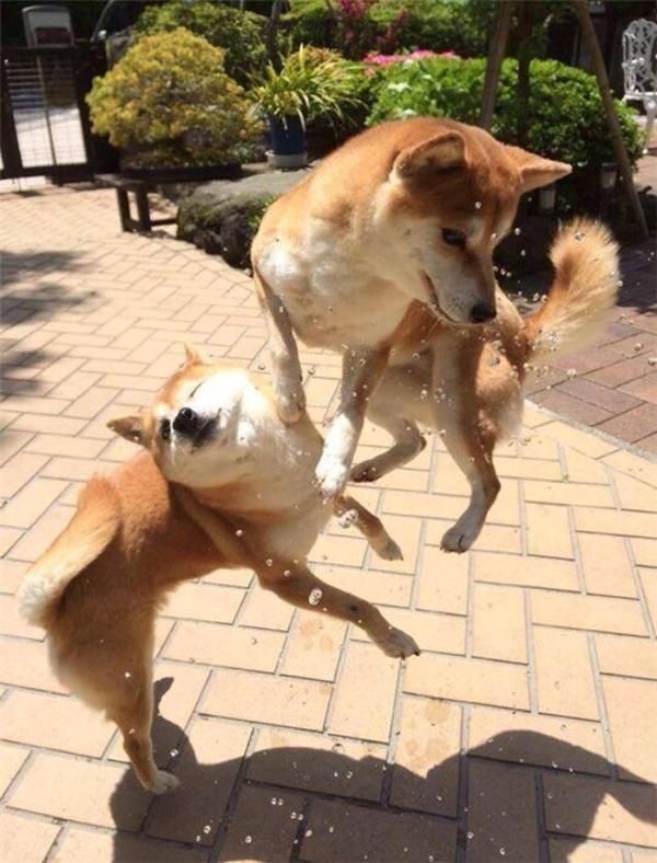 Nhà nuôi có hai con chó, cả hai con đều chập mạch giống nhau.