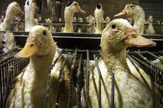Những con chim bị nuôi nhốt trong môi trường dơ bẩn và chật chội.