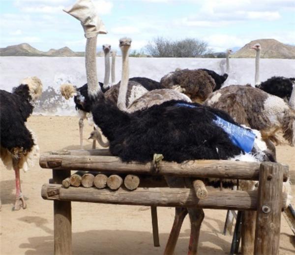 Chúng bất lực sống trong điều kiện nghèo nàn và chờ tới ngày bị vặt lông.