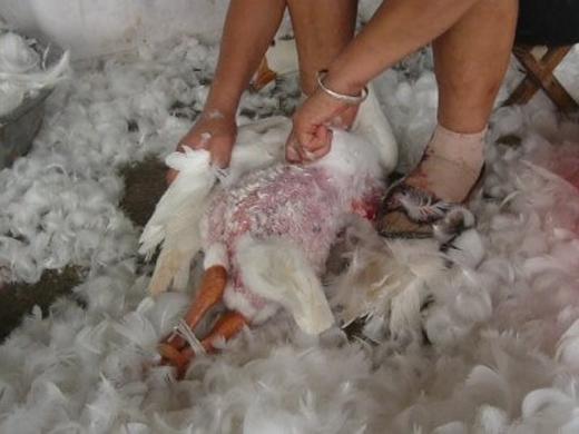 Họ giữ chặt con vật rồi nhổtừng nhúm lông một cách thô bạo.