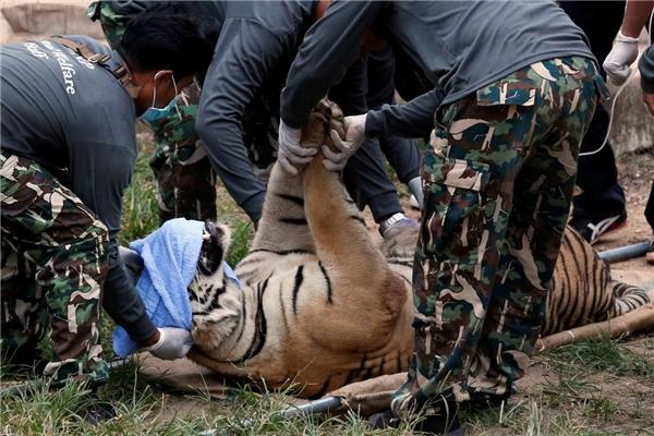"""Cơ quan bảo tồn động vật hoang dã Thái Lan đã phát hiện ra tình trạng bị """"chuốc"""" thuốc an thần của những con hổ."""