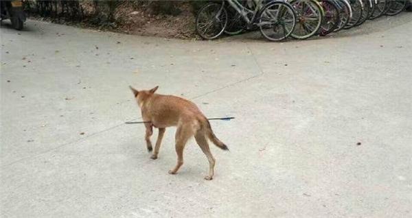 Xót xa chú chó bị tên bắn xuyên bụng trong ký túc xá đại học