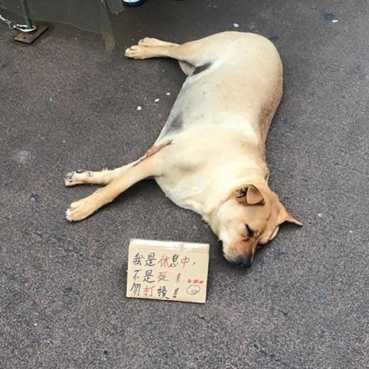 Chú chó nằm im bất động giữa đường phố đông đúc khiến nhiều người đi đường cứ ngỡ chú đã chết.