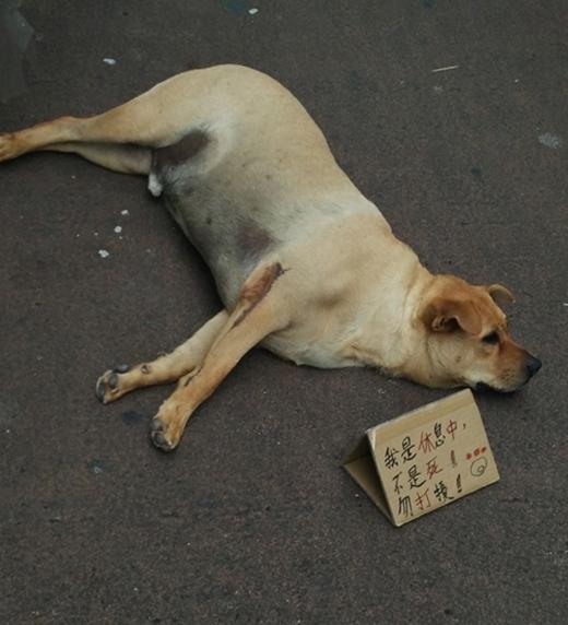 """Để tránh bị hiểu lầm và làm phiền đến giấc ngủ của chú chó, chủ một cửa hàng gần đó đã viết một tấm bảng """"Đang nghỉ ngơi, chưa chết! Chớ làm phiền"""" đặt ngay bên cạnh khiến nhiều người qua đường không khỏi bật cười."""