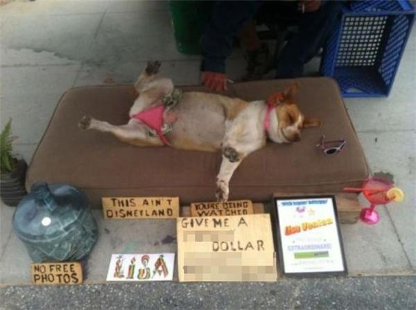 """Một chú chó ham ngủ khác tại Thái Lan đã """"tranh thủ kiếm tiền"""" từ giấc ngủ say như chết của mình. """"Không chụp hình miễn phí, chỗ này không phải Disneyland. Đang nhìn phải không, vui lòng típ cho một đồng""""."""