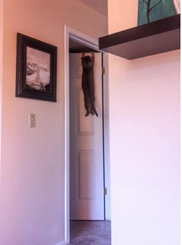 ... thì mèo xuất sắc được mệnh danh là vận động viên hít xà đơn thích làm màunhất.