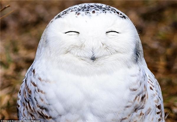 Con chim cú tuyết trông thật đáng yêu với nụ cười tít mắt không thấymặt trời.