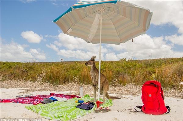 Khi Kangaroo cũng muốn nghỉ mát.