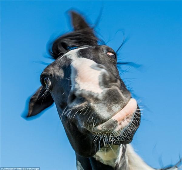 Một chú ngựa ở Đức vô tình bị chụp lại trong lúc đang lắc đầu liên tục.