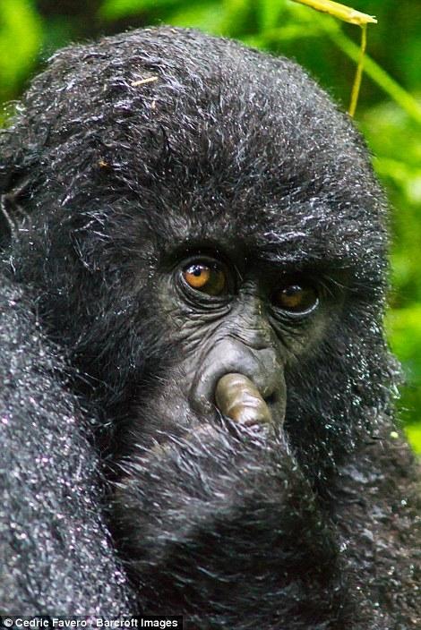 Con tinh tinh này bị bắt quả tang đang đưa tay móc mũi đấy.