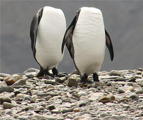 2 con chim cánh cụt đang cố giấu đầuđi vìkhông thích chụp ảnh đấy.