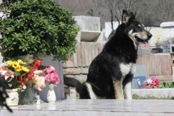 Chú chó Capitan vẫn liên tục ngồi bên cạnh mộ người chủ quá cố của mình rõng rã suốt 6 năm trời.