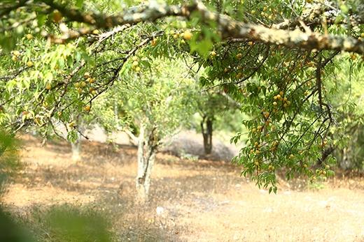 Vườn mận đang vào mùa cho quả.