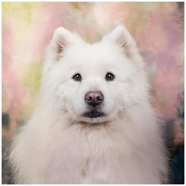 Chú chó Samoyed đẹp tuyệt vời dưới bàn tay chụp ảnh Rachael Dols