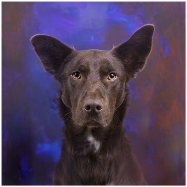 Bức chân dung có hồn của chú chó chăn cừu Kelpie Úc