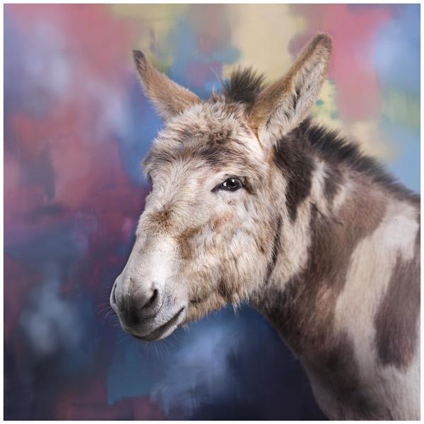 Staffy được coi là một trong những giống chó nguy hiểm, nhưng khi chụp chân dung, cậu ta cũng dễ thương lắm   Chú lừa Donkey dễ thương hơn nhân vật trong bộ phim hoạt hình Shrek rất nhiều lần