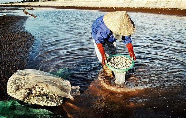 """Nước biển rút đi để lại trên bãi cát những """"vũng"""" là nơi ngao vừa thu hoạch có lẫn phù vàđất được làm sạch. Ngao phải được rửa bằng chính nước mặn của biển để đảm bảo tươi nguyên trong suốt quá trình bảo quản,vận chuyển đến chợ và tay người tiêu dùng."""