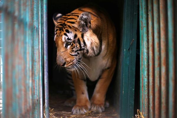 Một con hổ có tên Laziz đượcmộttổ chứcđộng vật quốc tế phi lợi nhuận cứu thoát khỏiđiều kiện sống thiếu vệ sinh củacác vườn thú Gaza Strip.